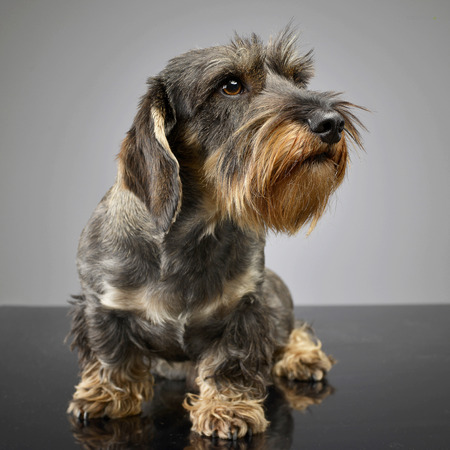 Studio shot of an adorable wire haired Dachshund sitting on grey background.