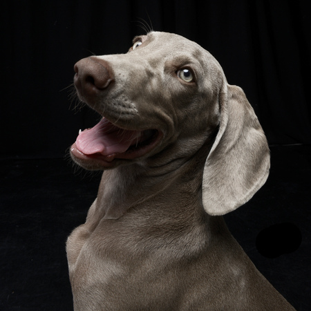 Portrait of an adorable Weimaraner dog, studio shot, isolated on black.