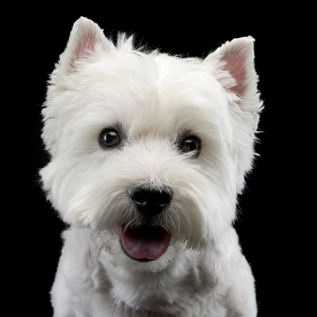 Portrait of a cute west highland white terrier, studio shot, isolated on black.
