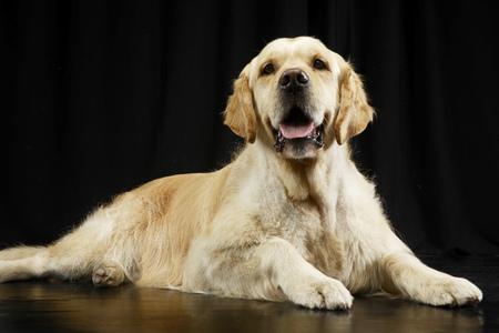Studio shot of an adorable Golden retriever lying on black background. Stock Photo
