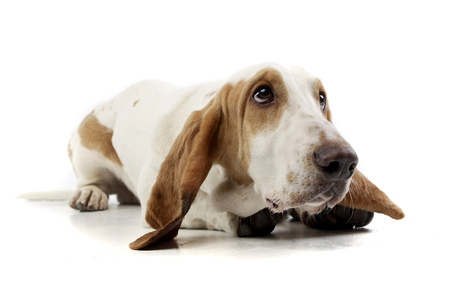 basset: Studio shot of an adorable Basset hound lying on white background. Stock Photo