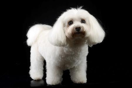 Black And White Bolognese Dog