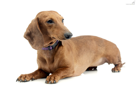 Studio shot of an adorable short haired Dachshund lying on white background.