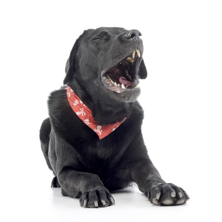 Studio shot of a yawning mixed breed dog wearing a red scarf with skulls, isolated on white.