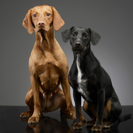 Studio shot of an adorable Hungarian vizsla and a mixed breed dog sitting on grey background.