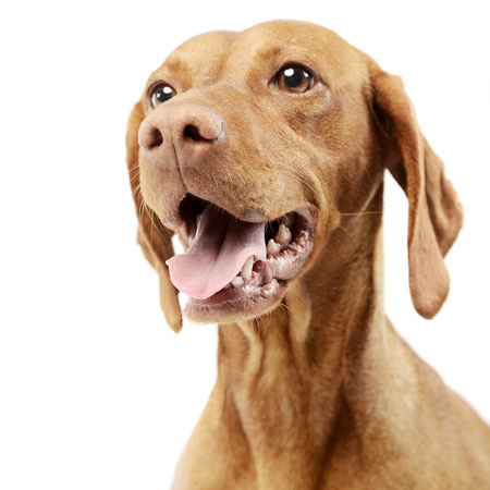 Portrait of an adorable Hungarian vizsla, studio shot, isolated on white.
