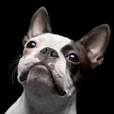 Portrait of an adorable Boston Terrier, studio shot, isolated on black.