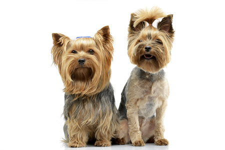 Studio shot of two adorable Yorkshire Terrier sitting on white background. Stock Photo