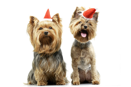 Studio shot of two adorable Yorkshire Terrier wearing red, funny hats - isolated on white. Stock Photo