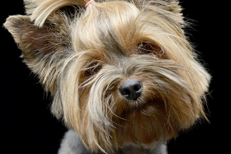 Portrait of an adorable Yorkshire Terrier, studio shot, isolated on black.