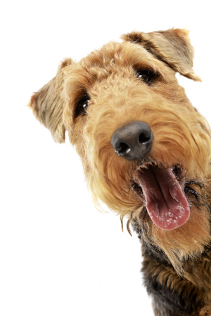 Portrait of an adorable Airedale terrier, studio shot, isolated on white