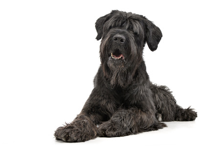 Studio shot of an adorable Black Russian Terrier lying on white background Standard-Bild
