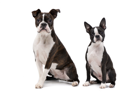 Studio shot of an adarable Boxer and a Boston terrier sitting on white background.
