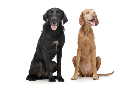 Studio shot of an adorable mixed breed dog and a Hungarian vizsla sitting on white background.