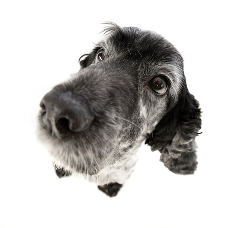 cocker: Wide angle portrait of an adorable English Cocker Spaniel - studio shot, isolated on white.