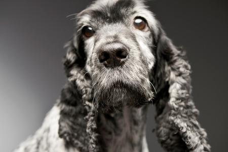 Portrait of an adorable English Cocker Spaniel - studio shot, isolated on grey.