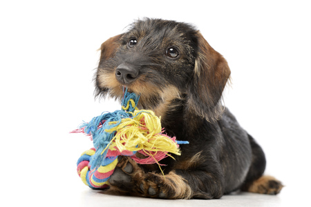 long nose: An adorable Dachshund paying with colored rope - studio shot, isolated on white. Stock Photo