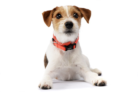 Studio shot of an adorable Jack Russell Terrier lying on white background.