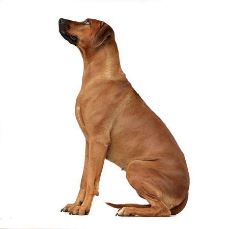 Top Rhodesian Ridgeback Black Adorable Dog - 77689521-studio-shot-of-an-adorable-rhodesian-ridgeback-sitting-on-white-background-  Image_77470  .jpg?ver\u003d6