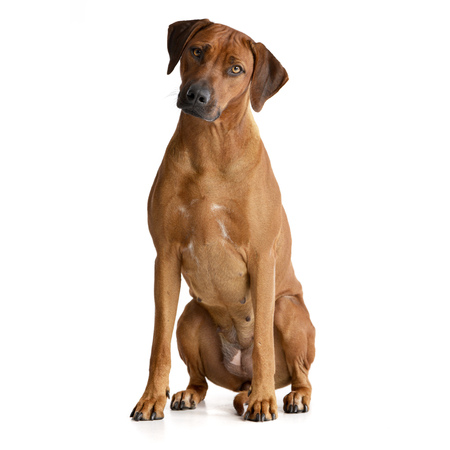 Studio shot of an adorable Rhodesian ridgeback sitting on white background.