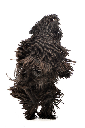 An adorable Puli standing on two legs - studio shot, isolated on white.