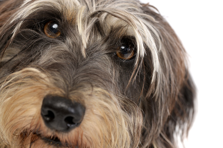 long nose: Portrait of an adorable Dachshund - studio shot, isolated on white.