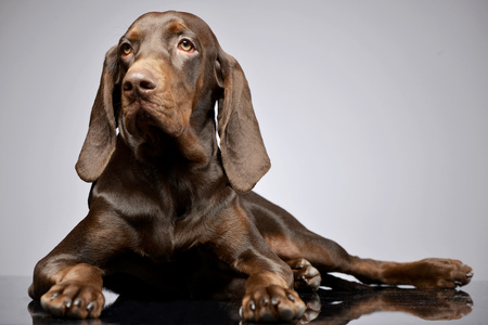 Studio shot of an adorable German pointer lying on grey background. Stock Photo