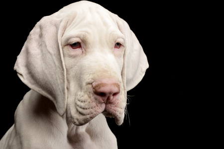 Portrait of a cute Great Dane puppy - studio shot, isolated on black. Stock Photo