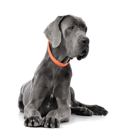 Studio shot of an adorable Great Dane lying on white background. Stock Photo