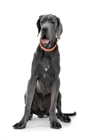 Studio shot of an adorable Great Dane sitting on white background. Banco de Imagens