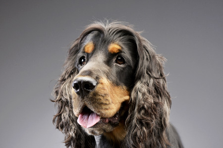 cocker: Portrait of an adorable English Cocker Spaniel - isolated on grey. Stock Photo