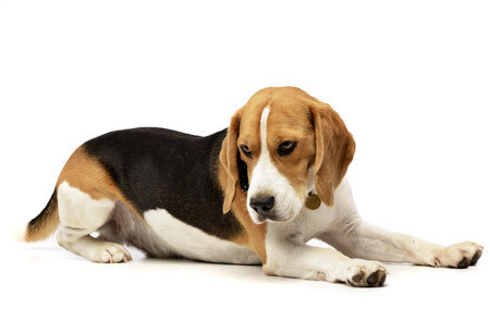 long nose: Studio shot of an adorable Beagle lying on white background.
