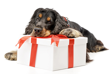 An adorable English Cocker Spaniel with a giftbox - studio shot, isolated on white.