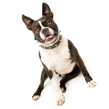 long nose: Studio shot of an adorable Boston Terrier sitting on white background.