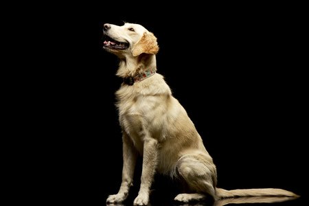 long nose: Studio shot of an adorable Golden retriever puppy sitting on black background.