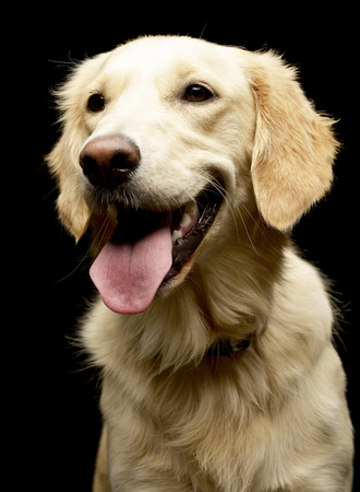 long nose: Portrait of an adorable Golden retriever puppy - studio shot, isolated on black.