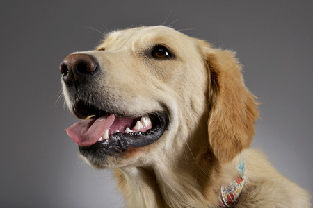 long nose: Portrait of an adorable Golden retriever puppy - studio shot, isolated on grey.