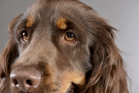 Portrait of an adorable American Cocker Spaniel - studio shot, isolated on grey. Stock Photo