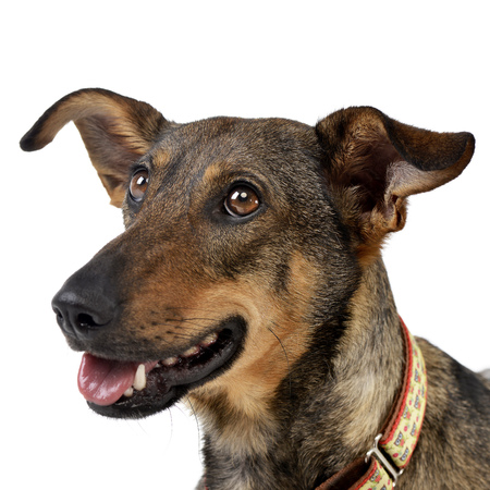 long nose: Portrait of an adorable mixed breed dog - studio shot, isolated on white. Stock Photo