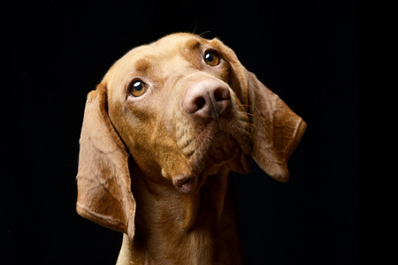 Portrait of an adorable Hungarian vizsla - studio shot, isolated on black. Standard-Bild