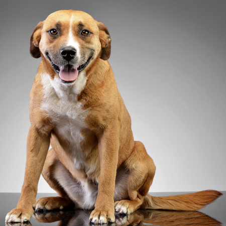 Studio shot of an adorable Staffordshire Terrier sitting on grey background.