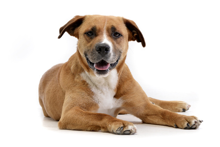 Studio shot of an adorable Staffordshire Terrier lying on white background. Stock Photo