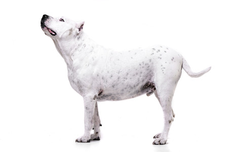 Studio shot of an adorable Dogo Argentino standing on white background.