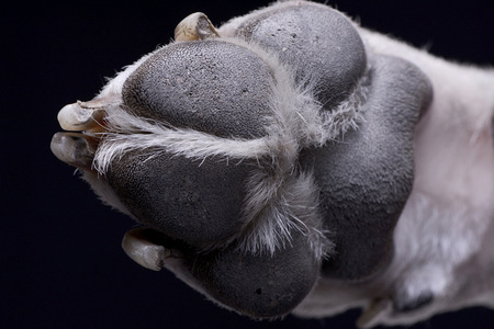 Close shot of a Dogo Argentinos paw - studio shot, isolated on black.