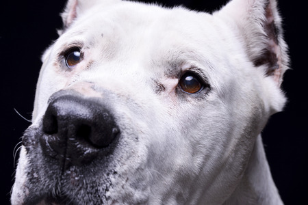 Portrait of an adorable Dogo Argentino - studio shot, isolated on black. Stock Photo