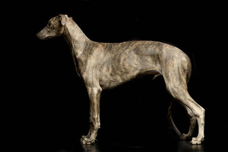 Studio shot of an adorable Greyhound standing on black background.