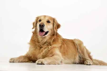 Studio shot of an adorable Golden retriever lying on white background. Stock Photo