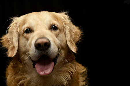 Portrait of an adorable Golden retriever - studio shot, isolated on black.