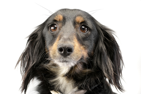 Portrait of an adorable Dachshund - studio shot, isolated on white.
