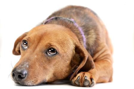 Tiro del estudio de un perro mezclado adorable de la raza que miente en el fondo blanco. Foto de archivo - 77766986